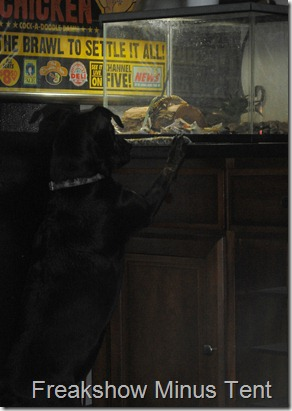 Rosetta, our dog is staring into the leopard geckos cage.