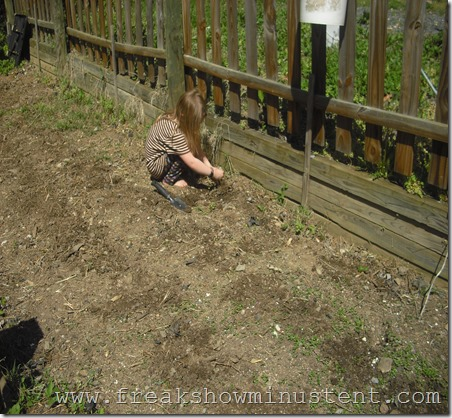 placing cucumber seedlings to plant